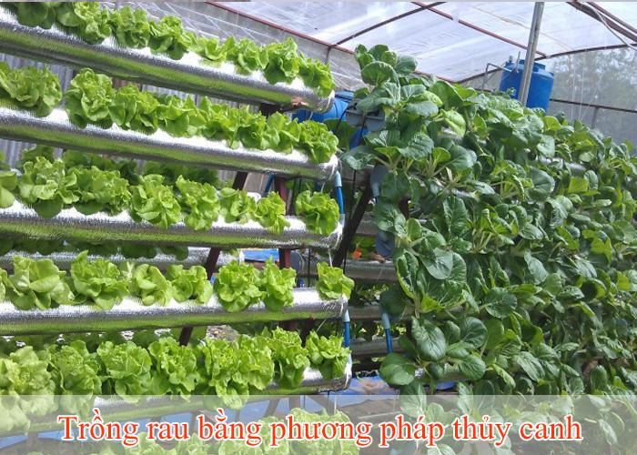 trồng rau bằng phương pháp thủy canh