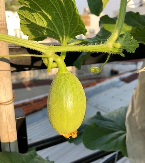 trồng dưa lưới trên sân thượng